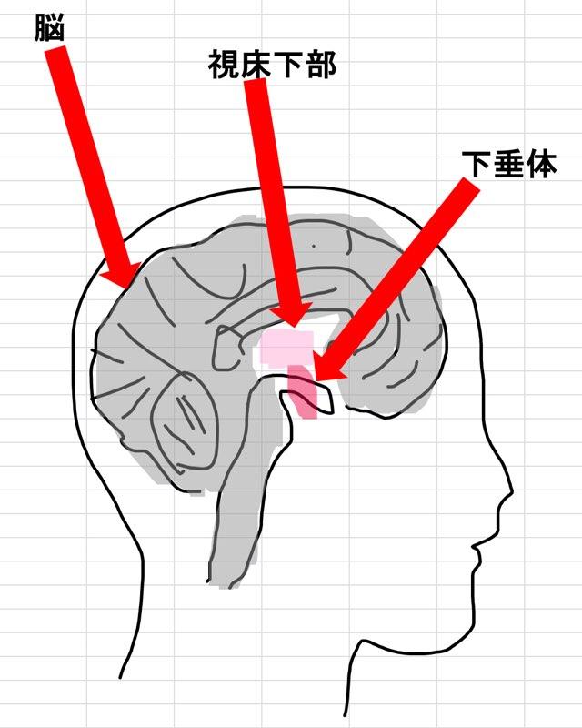 人の脳と下垂体