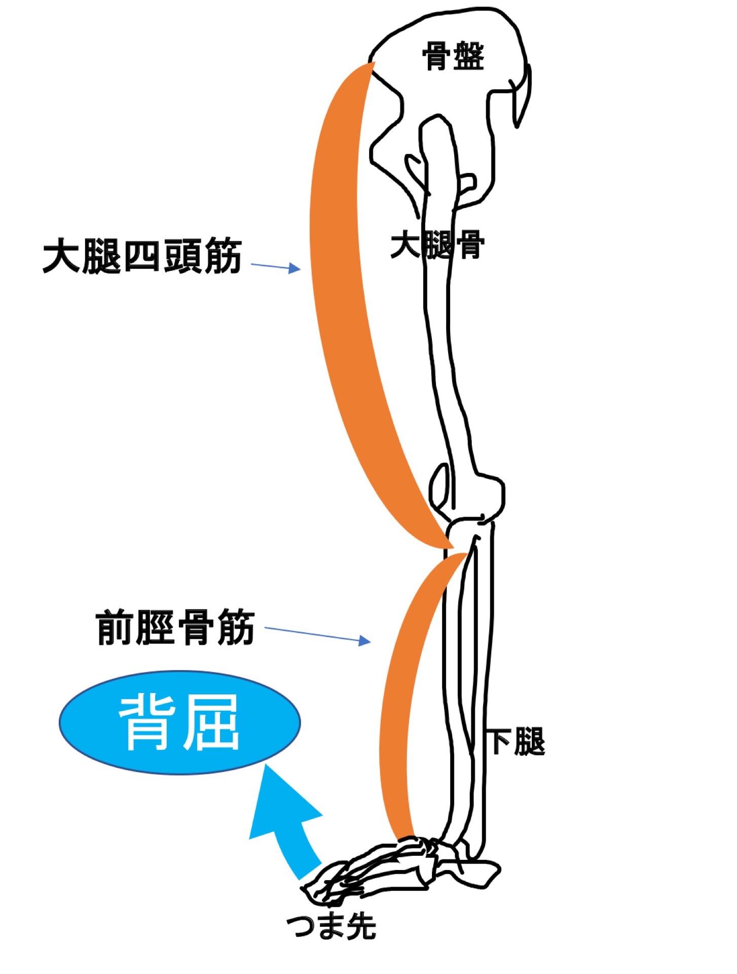 前脛骨筋と大腿四頭筋の関係