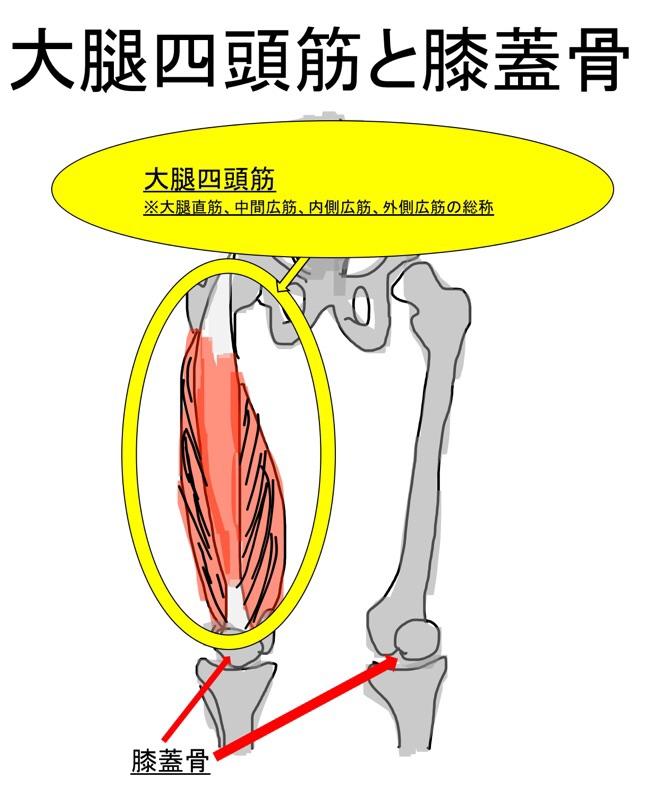 大腿四頭筋と膝蓋骨