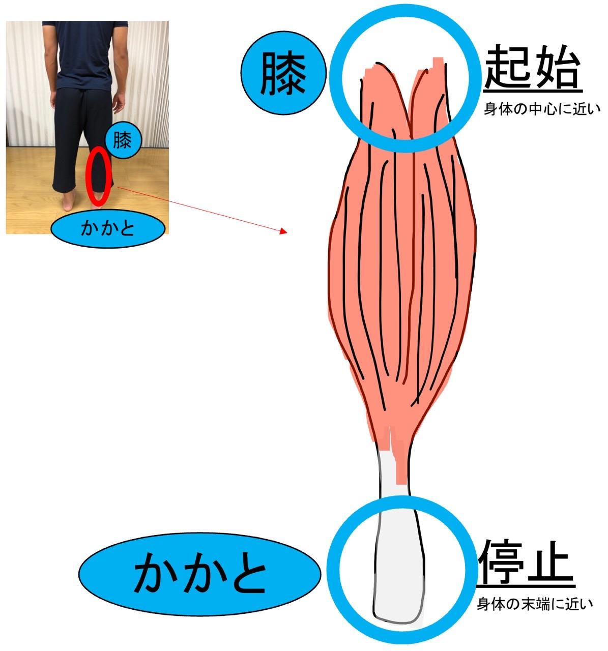 筋肉の起始と停止