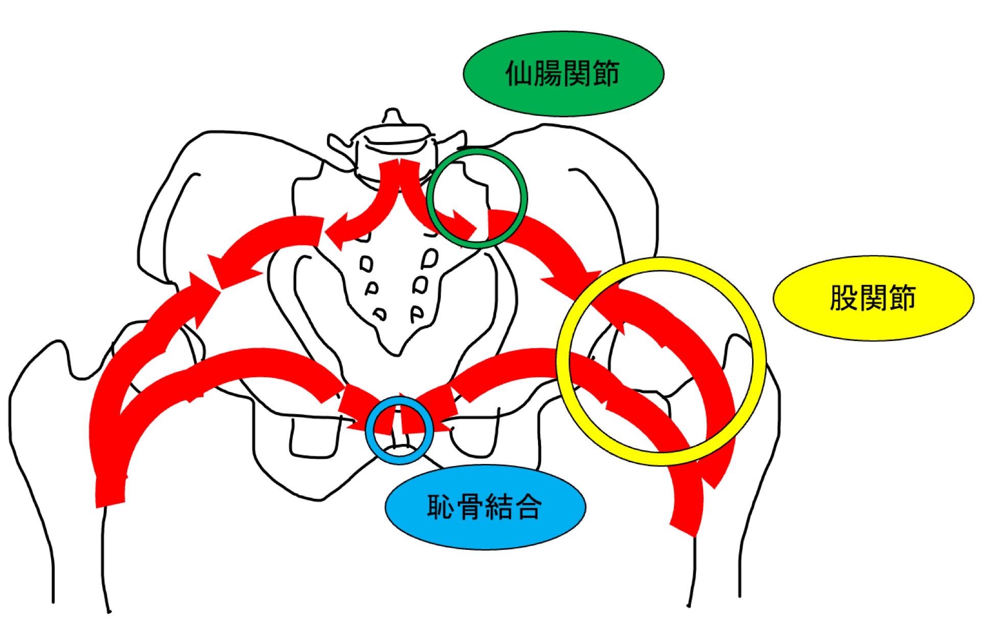 骨盤帯と力の伝達